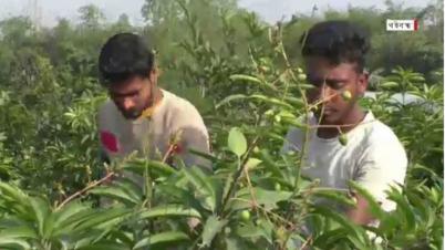 বারোমাসী আম বাগান করে স্বাবলম্বী গাইবান্ধার তিন তরুণ