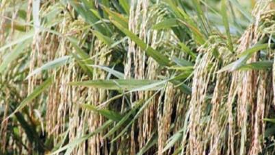 ব্রি হাইব্রিড-৭ জাতের আউশ ধানে বিঘায় ফলন ২৩ মণ