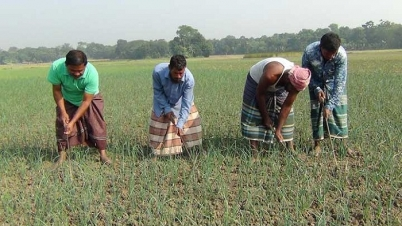 পেঁয়াজের বাম্পার ফলনে খুশি চৌগাছার কৃষক