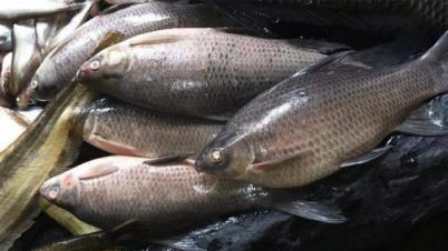 নাটোরের বাজারে আসছে বিলুপ্তপ্রায় মাছ