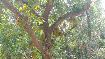 'লাউড়ের রাজধানী' এখন 'কাঁঠালের রাজ্য'