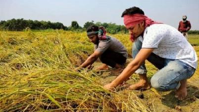 গাংনীতে কৃষকের ধান কেটে ঘরে তুলে দিলো উপজেলা ছাত্রলীগ