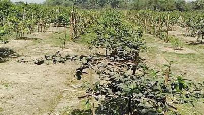১৫ তরুণের স্বপ্ন হাসে দুই একর লেবু বাগানে