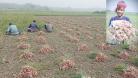 ঝিনাইদহে পিঁয়াজের ভালো ফলন, দাম পেয়ে খুশি কৃষকরা