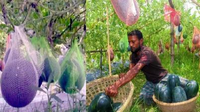 ইউটিউব দেখে 'থাই তরমুজ' চাষ করে ৬৫ দিনেই লাখপতি